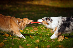 Two dogs playing with a toy together
