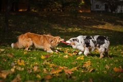 Two dogs playing with a toy together Stock Images