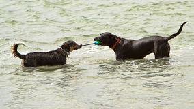 Two dogs playing tug-o-war in the ocean Royalty Free Stock Images