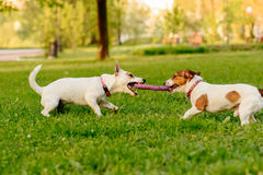 Two dogs playing tug of war game with puller toy. Adult dog trying to take away toy from puppy Royalty Free Stock Photos