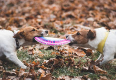 Two dogs playing tug-of-war. Pair of Jack Russell Terriers fighting for frisbee Stock Images