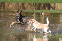 Two dogs playing in water. Two dogsrunning and  playing in water Royalty Free Stock Photos