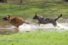 Two dogs playing   in water. Two dogs playing and running in water Stock Images
