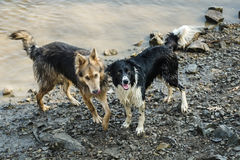Two Dogs  playing in water Royalty Free Stock Photos