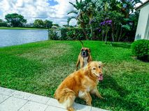 Two dogs playing and wrestling in the yard Royalty Free Stock Photo