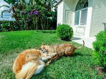 Two dogs playing and wrestling in the yard Stock Images