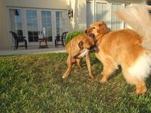 Two dogs playing and wrestling in the yard Stock Photo