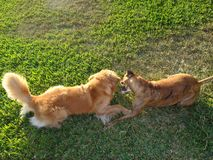 Two dogs playing and wrestling in the yard Stock Image