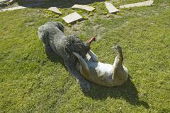 Two dogs playing in yard in Tucson, AZ Stock Images