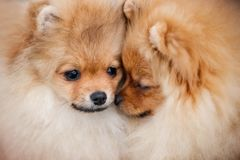 Two dogs Pomeranian Spitz gently touching by their noses at sunny summer day. Two dogs Pomeranian Spitz gently touching by their noses and playing together royalty free stock photos