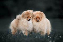 Two dogs Pomeranian Spitz playing together outdoors at sunny summer day. Two dogs Pomeranian Spitz gently playing together outdoors at sunny summer day stock images