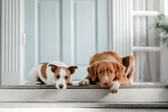 Two dogs on the porch. Jack Russell Terrier and Nova Scotia duck tolling Retriever outdoors Stock Photos