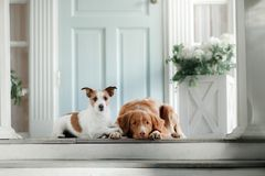 Two dogs on the porch. Jack Russell Terrier and Nova Scotia duck tolling Retriever outdoors Royalty Free Stock Photo