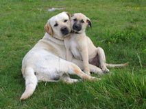 Two dogs pose Stock Images