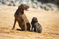 Two dogs pose together Stock Image