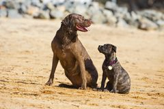 Two dogs pose together Royalty Free Stock Photo