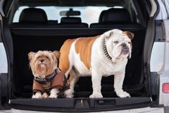 Two dogs posing in a car trunk Stock Photos