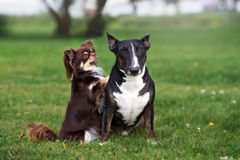 Two adorable dogs posing together on grass. Two dogs posing together in summer royalty free stock photography