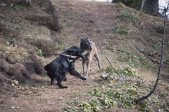 Two dogs pulling big stick Royalty Free Stock Image