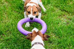 Two dogs pulls toy playing Tug-of-war on grass Royalty Free Stock Photography