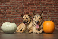 Two dogs with pumpkin Stock Image