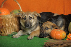 Two dogs with pumpkin Royalty Free Stock Photography