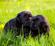 Two dogs, puppies on the grass Stock Photo