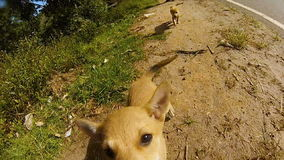 Two dogs puppy jump on a gopro camera in the mountains of the tea plantations. In Sri Lanka stock footage