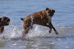 High energy dogs play in the ocean at dog beach royalty free stock photography