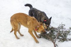 Two dogs, red and black, gnaw one fir branch in winter. Dogs with chips on their ears, outbred grafted chipped animals. Games dogs. In the winter, chipped ears royalty free stock photography