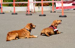 Two dogs rest in the asphalt Stock Photography