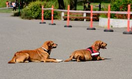 Two dogs rest in the asphalt Royalty Free Stock Photo