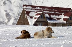 Two dogs rest on snow near hotel Stock Photos