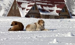 Two dogs rest on snow in ski resort Royalty Free Stock Image