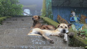 Two dogs resting lying on the stairs stock video footage