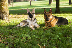 Two dogs. Resting in the nature, sitting on the grass Stock Photos