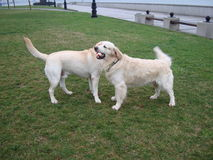 Two dogs retriever and labrador play on green grass. Great photo of two dogs retriever and labrador play on green grass royalty free stock image