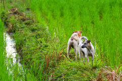 Two dogs in rice fields Royalty Free Stock Photography