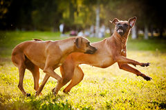 Two dogs ridgeback playing Royalty Free Stock Images
