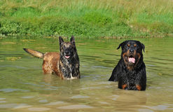 Two dogs in river Royalty Free Stock Images