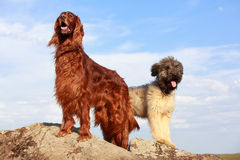 Two dogs. On a rock Stock Photos