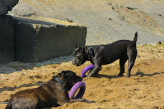 Two dogs Rottweiler in the water by the sea playing with a toy. In the form of a ring Stock Photos