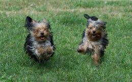 Two dogs run outdoors Stock Photos