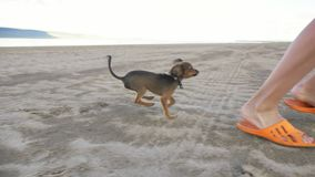 Two dogs run together in the beach. Dogs run after the boy and away from him. Shooting slow motion 180 fps stock footage