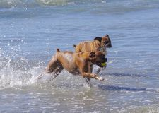 High energy dogs run together out of the ocean at dog beach stock photo