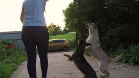Two dogs run together in the park stock video footage