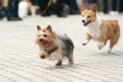 Two dogs running Stock Photography