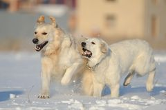 Two dogs running across the field Royalty Free Stock Image
