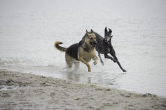Two dogs running along the beach stock images