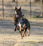 Two dogs running fast Stock Photography